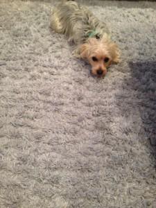 Federal_Way-Dog-carpet-clean